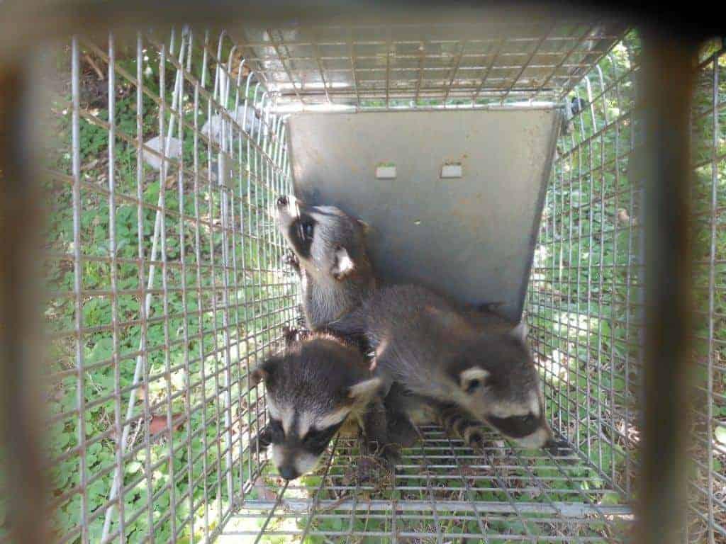 Wildlife Removal in Dallas