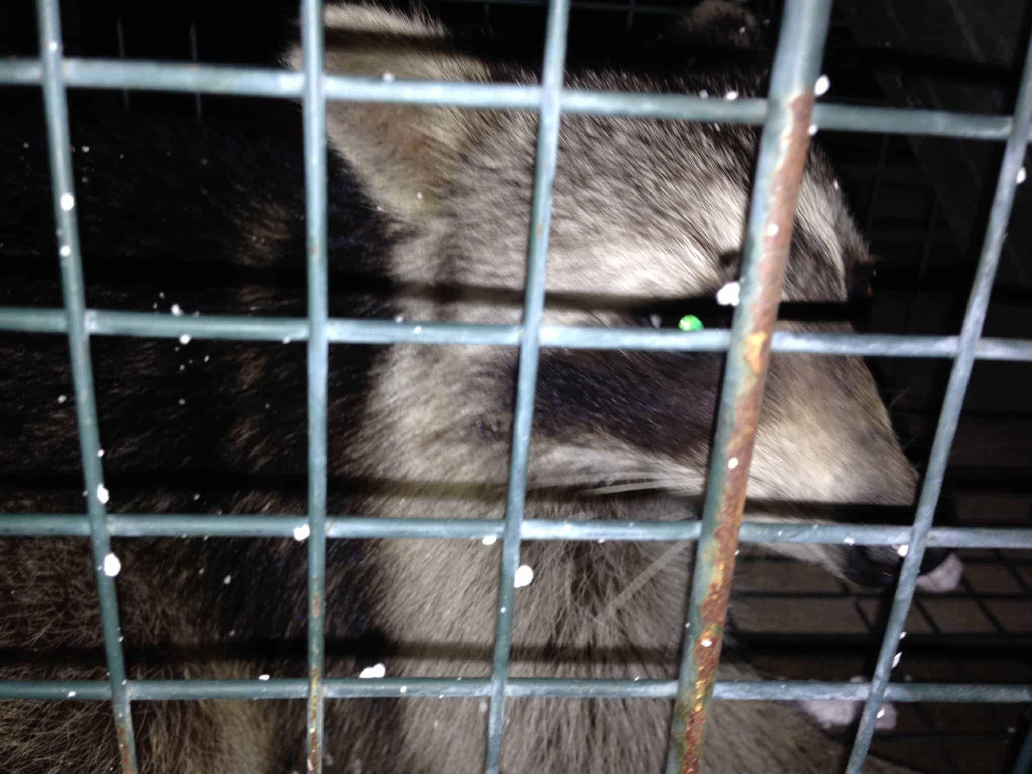Trap Wildlife Raccoon