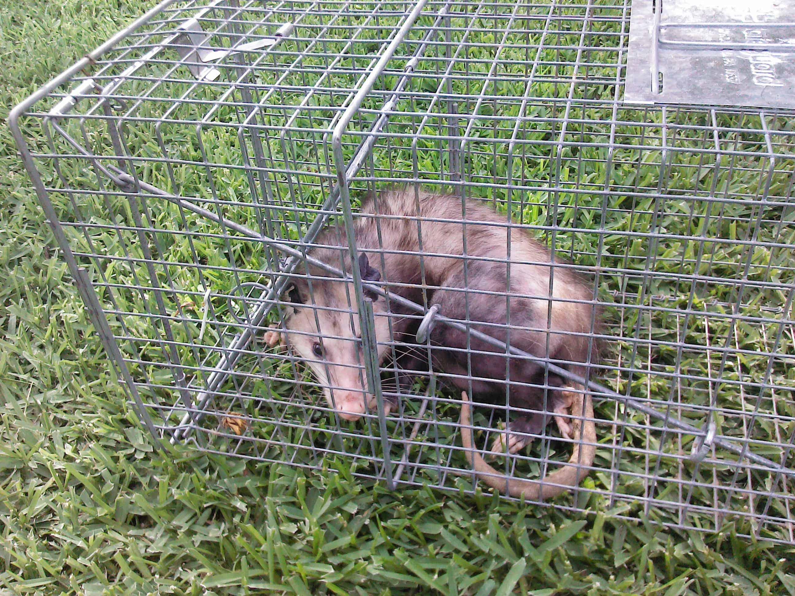 Animal Removal Thorton