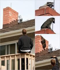 Raccoons on chimney